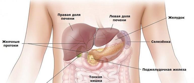 Анатомия органов пищеварения